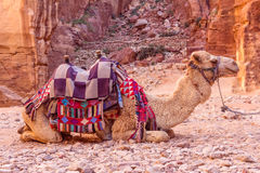 Camels in ancient city of Petra in Jordan Stock Photography