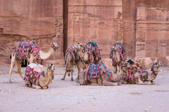 Camels in ancient city of Petra in Jordan Stock Photo