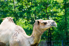 Camels in Arabia, wildlife in nature.  Royalty Free Stock Image