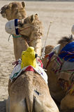 Camels At The Races Stock Photography