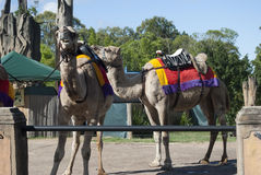 Camels at australia zoo Royalty Free Stock Photo