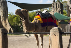 Camels at australia zoo Stock Photography
