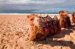 Camels on Australian beach Royalty Free Stock Photo