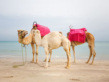 Camels with baby Royalty Free Stock Image