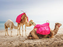 Camels with baby Royalty Free Stock Images