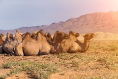 Camels on a background of a desert landscape with a mountain Stock Images