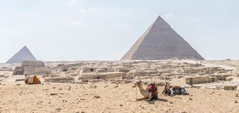 Camels on the background of the Giza pyramid complex. The ruins of the ancient city at the foot of the Pyramid of Menkaure left and the Pyramid of Khafre right royalty free stock image