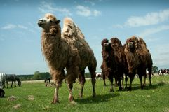 Camels Bactrianus. To pasture, the average strip of Russia Stock Photography