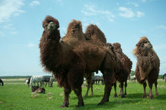 Camels Bactrianus. To pasture, the average strip of Russia Royalty Free Stock Photos