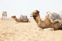 Camels in beach Royalty Free Stock Image