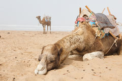 Camels in beach Stock Images