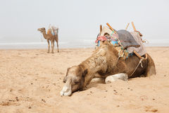 Camels in beach Royalty Free Stock Photo