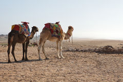 Camels in beach Royalty Free Stock Photography