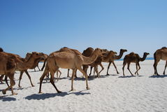 Camels on the beach Royalty Free Stock Photography