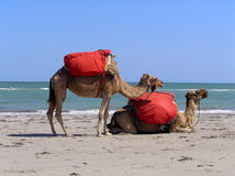 Camels on the beach. Two camels on the beach with red baggage Stock Photo