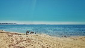 Camels at the beach Stock Image