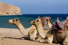 Camels on the beach at the Blue Hole, Dahab, Egypt Royalty Free Stock Photo