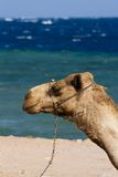 Camels on the beach at the Blue Hole, Dahab, Egypt Stock Images
