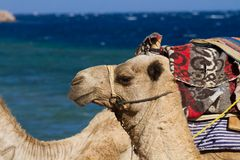 Camels on the beach at the Blue Hole, Dahab, Egypt Stock Image