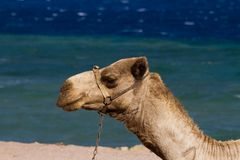 Camels on the beach at the Blue Hole, Dahab, Egypt Royalty Free Stock Photography