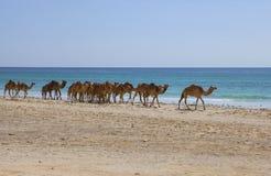 Camels. On a beach. Dhofar, Oman Royalty Free Stock Photos