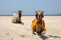 Camels on the beach in Dubai Royalty Free Stock Images