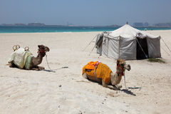 Camels on the beach in Dubai Royalty Free Stock Photo