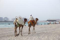 Camels on the beach in Dubai Royalty Free Stock Photos