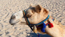 Camels on the beach Royalty Free Stock Image