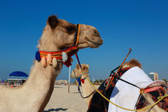 Camels on the beach in Dubai Royalty Free Stock Photography