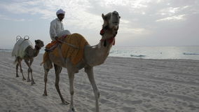 Camels on the beach of Dubai stock video