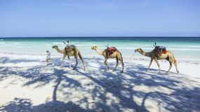 Camels at the beach in Kenia Stock Images