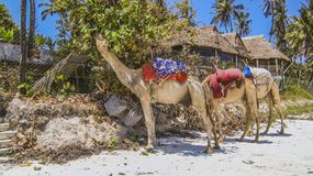 Camels at the beach in Kenia Royalty Free Stock Photo