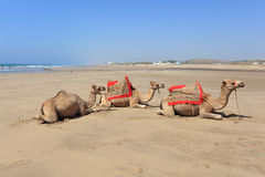Camels on the beach. Morocco Royalty Free Stock Photo