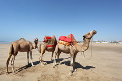 Camels on the beach. Morocco Royalty Free Stock Images
