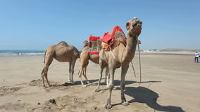 Camels on the beach in Morocco stock video footage