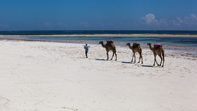 Camels, beach, ocean, white sand, noon, vacation Royalty Free Stock Photo