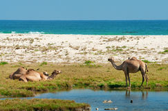 Camels on the beach, Oman Stock Images