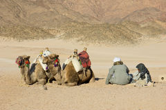 Camels and Bedouins in the desert Royalty Free Stock Images