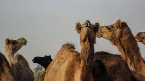 Camels at Bikaner, India. Group of camels at Bikaner, India stock image
