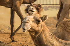 Camels in Camel Research Farm in Rajasthan Royalty Free Stock Photo