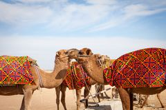 Camels Camelus in camp royalty free stock image