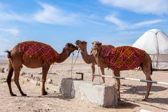 Camels Camelus in camp royalty free stock photo
