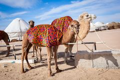 Camels Camelus in camp royalty free stock photos