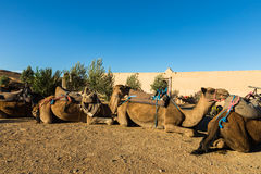 Camels in the camp of the Berbers. Sahara desert stock images