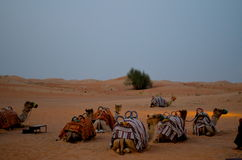 Camels camp in Dubai desert Stock Photography