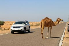 Camels can be a danger in Middle East. A camel strays on to a road and causes some excitement in Northern United Arab Emirates Stock Photo