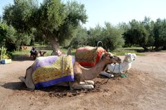 Camels Caravan. Camel caravan rests before being sent on a long journey. The picture shows Camels Caravan. Camel caravan rests before being sent on a long Stock Images