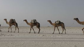 Camels caravan carrying salt in Africa`s Danakil Desert, Ethiopia. Camels caravan carrying salt in Africa`s Danakil Desert, Dallol, Ethiopia stock video
