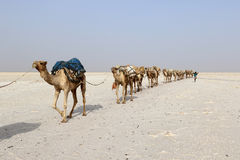 Camels caravan carrying salt in Africa`s Danakil Desert, Ethiopia Royalty Free Stock Image